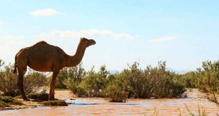 جازموریان بهترین مکان برای پرورش شتر در ایران + ویدیو