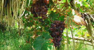 روستای بوینگ باغ انگور در روستای بوینگ