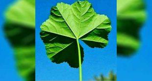 گیاه شولکتمام خواص شولک (شُلَک) و سمسیل