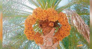 انسان و درخت خرما شباهت های انسان با درخت نخل